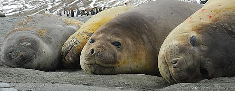 Antarctic Expeditions - Elephant Seals on South Georgia by Simon Bellingham