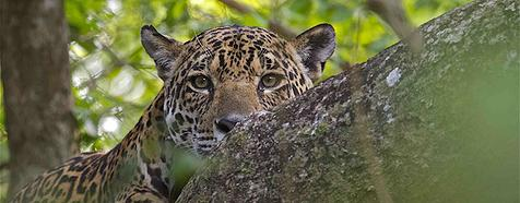 Jaguar by Adriano Gambarini - Bellingham Safaris