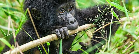 Gorilla by Jim James - Uganda safari