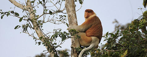 Kinabatangan River - Borneo Tropical Rainforest Tours - Bellingham Safaris