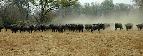 Buffalo at Mana Pools by Simon Bellingham - Zimbabwe & Victoria Falls Luxury Safari - Bellingham Safaris