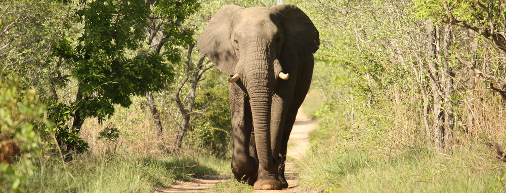 Kruger Park Elephant by Greg Whelan