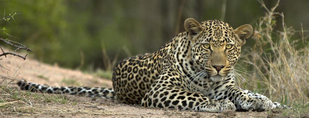 Leopard by Londolozi
