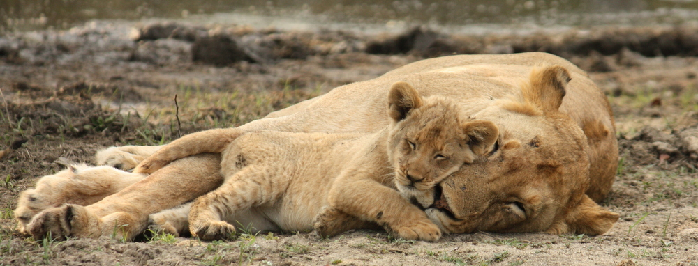Lioness and cub by Greg Whelan