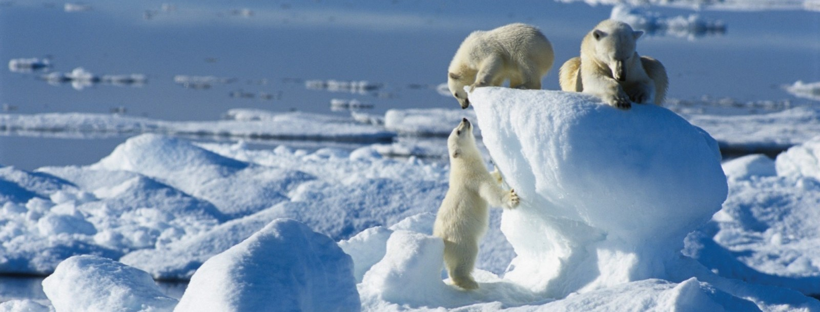 Arctic Wildlife Safari Expeditions - Bellingham Safaris
