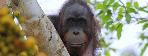 Orangutan by Jim James - Borneo Tropical Rainforest Tours - Bellingham Safaris
