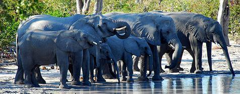 Chobe - Botswana Luxury Wildlife Safari Holidays - Bellingham Safaris