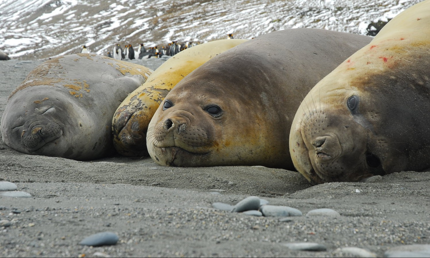 Antarctica-Elephant-Seals-by-Simon-Bellingham-e1439829409389