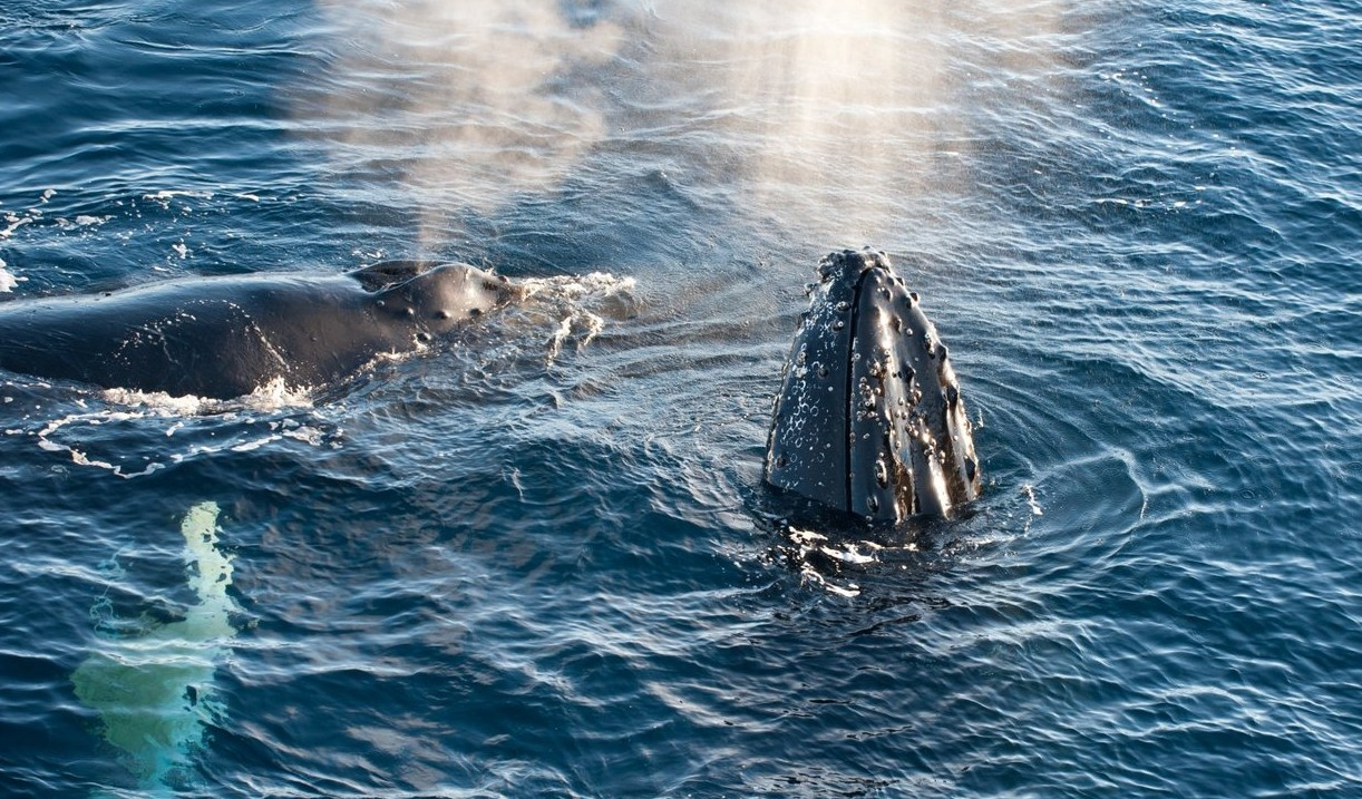 Antarctica-Humpback-Whales-by-Erwin-Vermeulen-e1439630195515