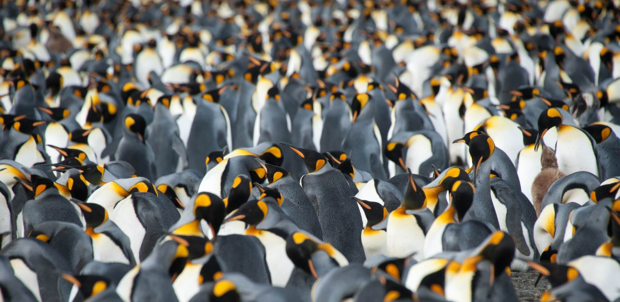 Antarctica-King-Penguins-by-Erwin-Vermeulen