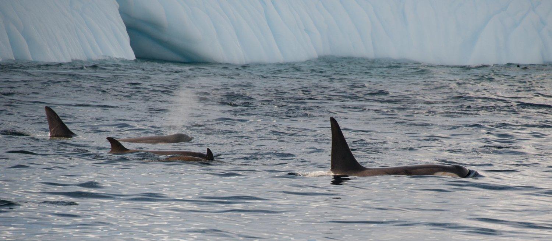 Antarctica-Orcas-by-Erwin-Vermeulen