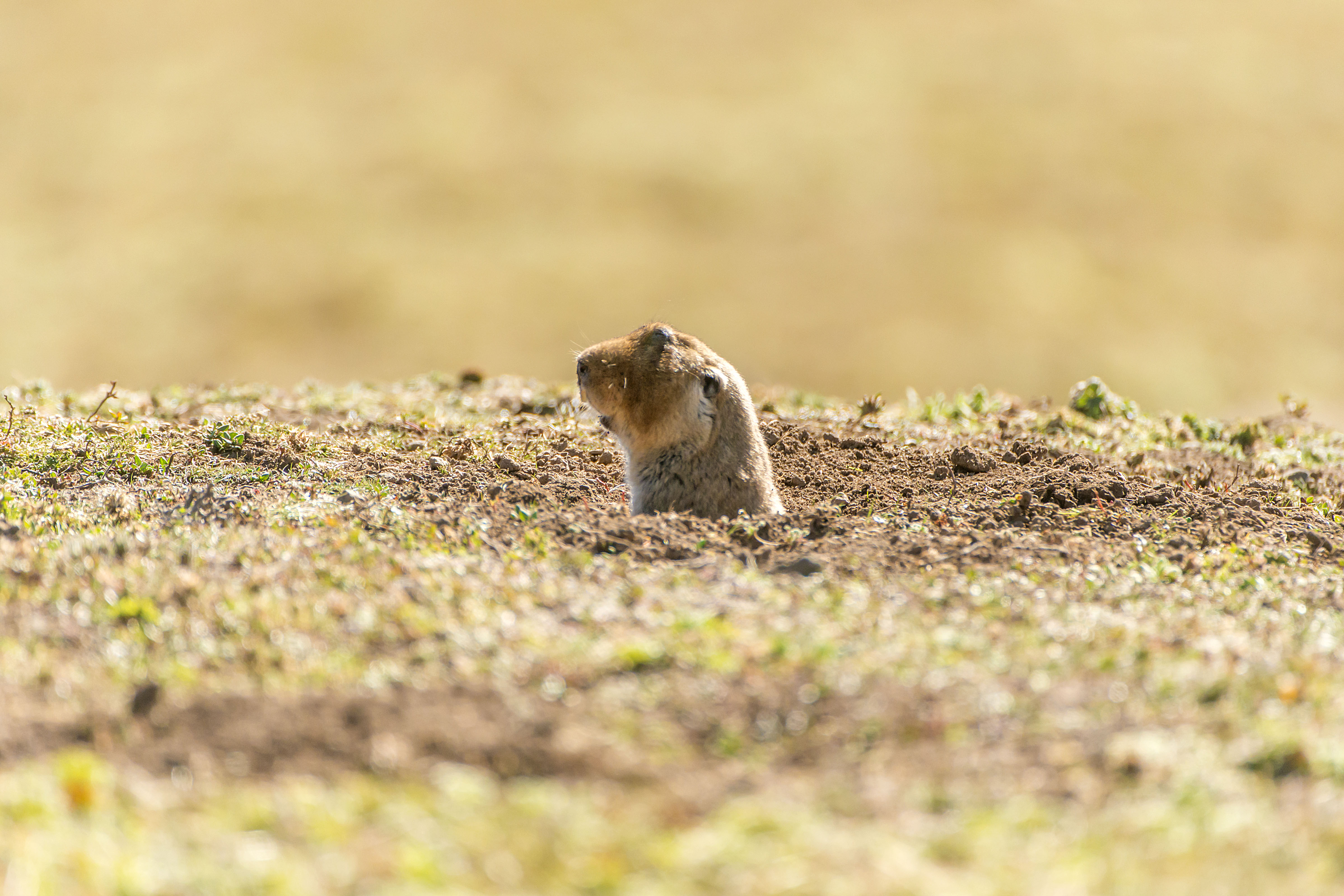 Big-headed-Mole-rat-Sanetti-Plateau-Bale-Mountain-National-Park-by-Larry-Jackson