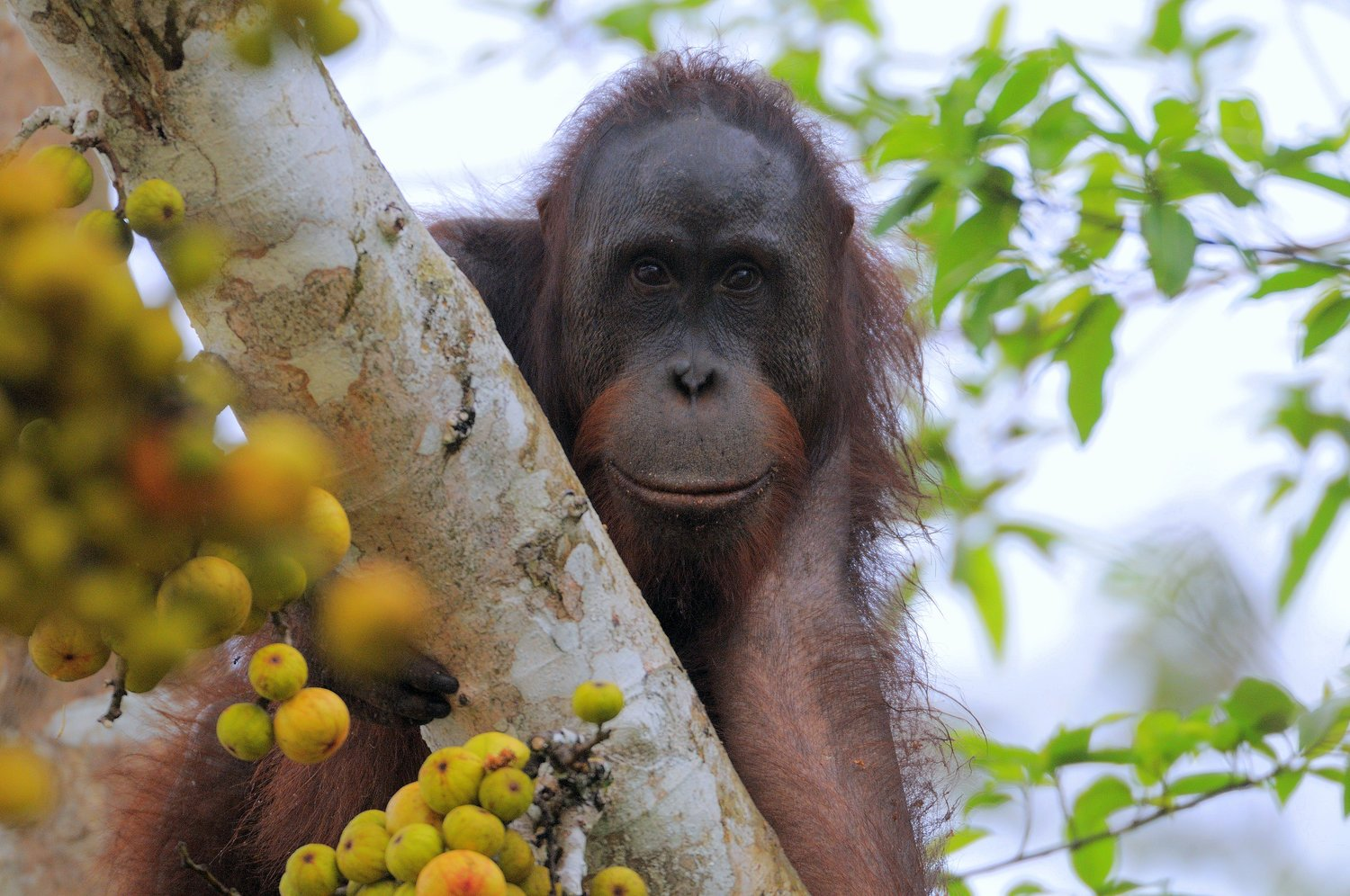 Borneo-Orangutan-by-Jim-James