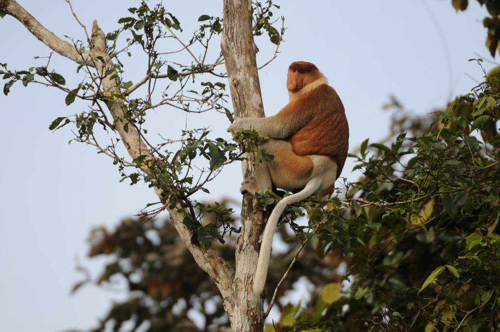 Borneo-Proboscis-Monkey-by-Jim-James