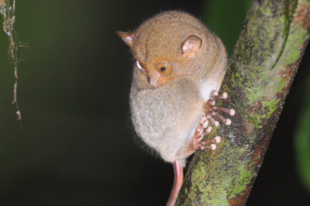 Borneo-Western-Tarsier-by-Jim-James