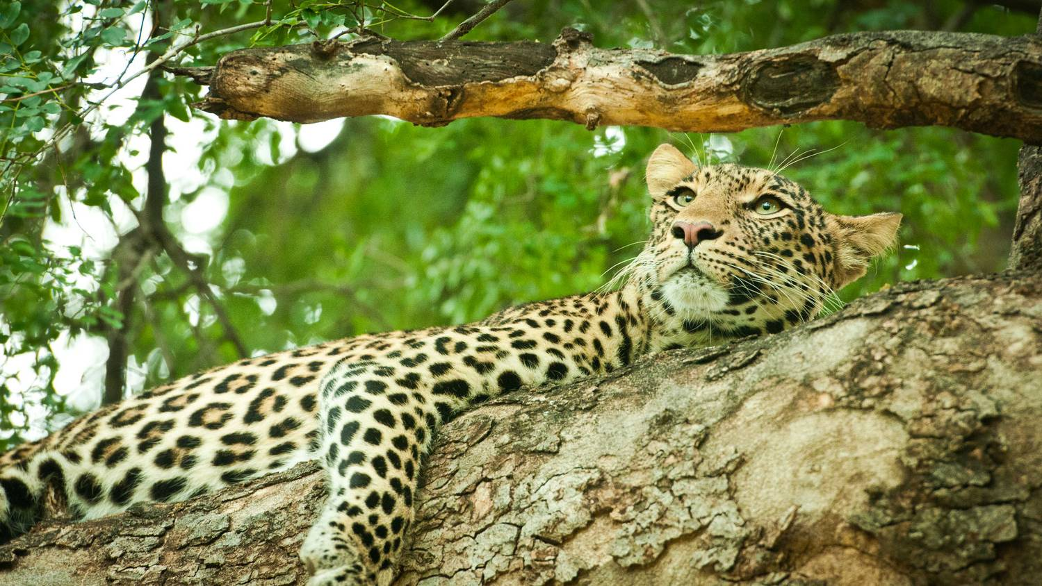 Botswana-Leopard-by-Simon-Bellingham-e1566894839622
