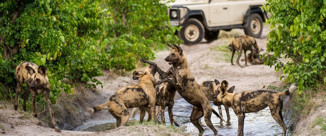 Botswana-Wild-Dogs-by-Russel-Friedman_copy-e1439993080344