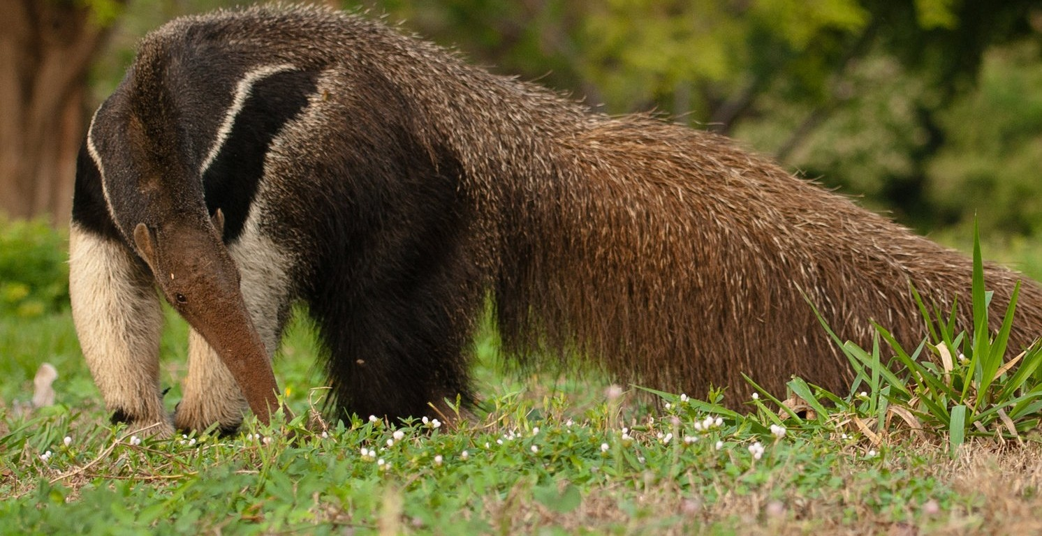 Brazil-Giant-Anteater-by-Simon-Bellingham-e1439629982664