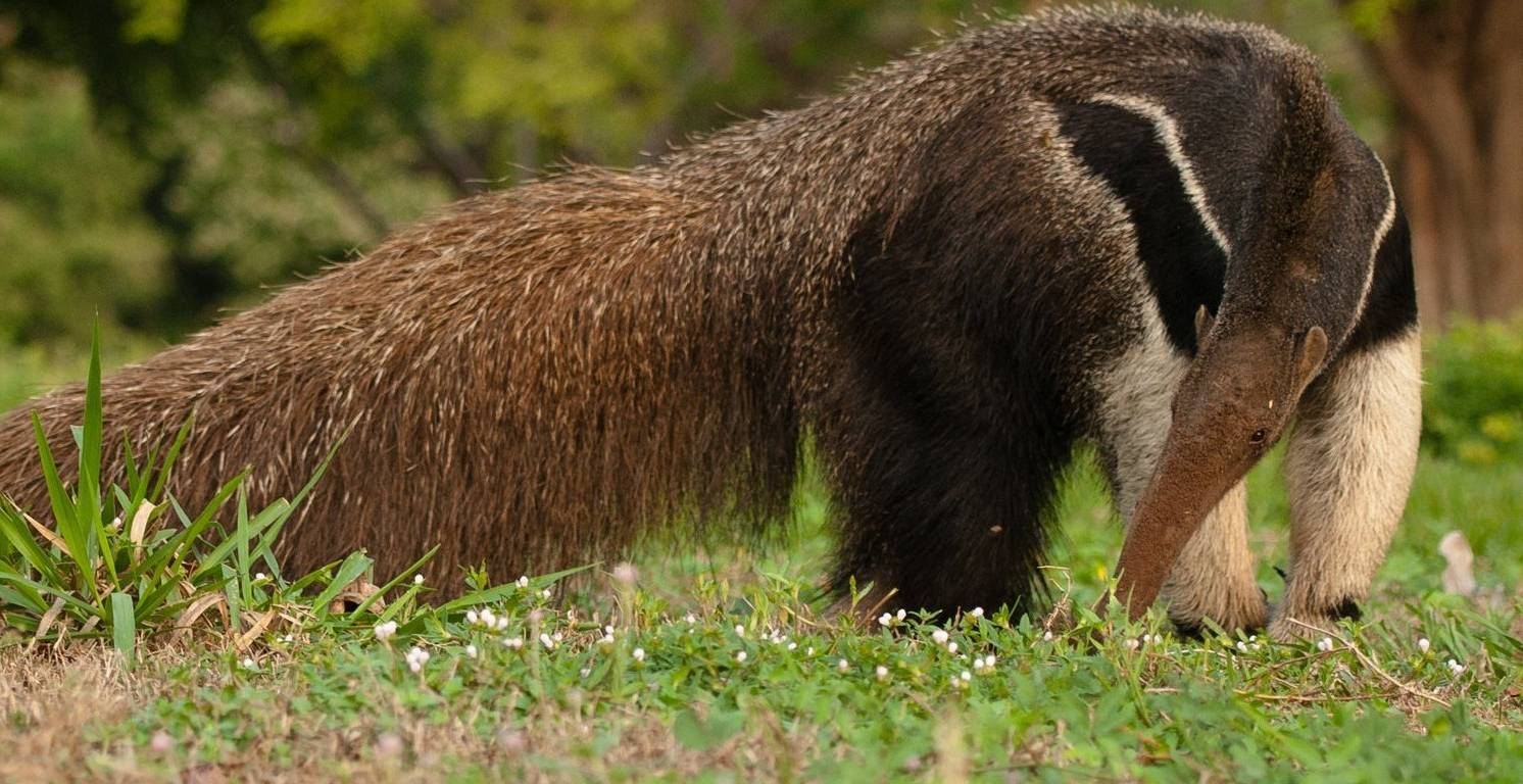 Brazil-Giant-Anteater-by-Simon-Bellingham-e1566896705368