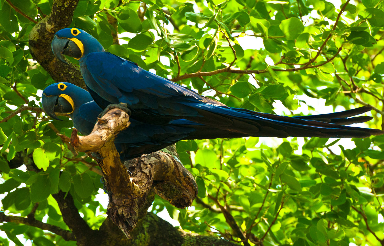 Brazil-Hyacinth-Macaw-by-Simon-Bellingham