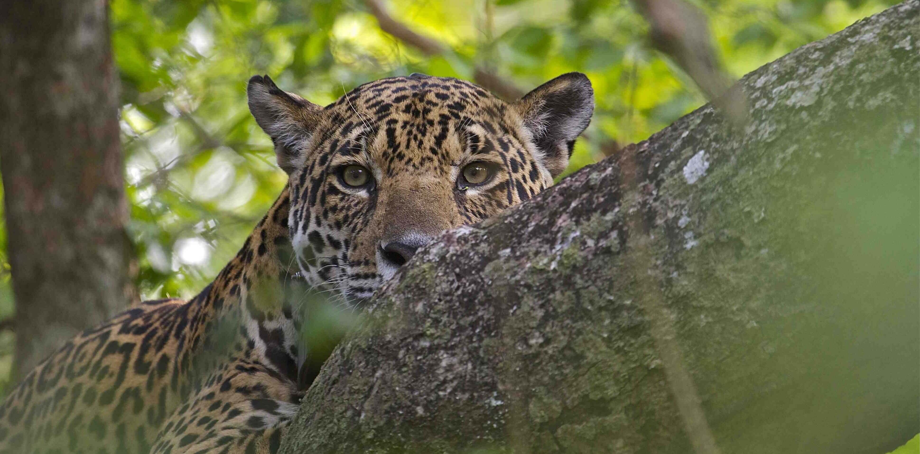 Brazil-Jaguar-by-Adriano-Gambarini-e1439377345296