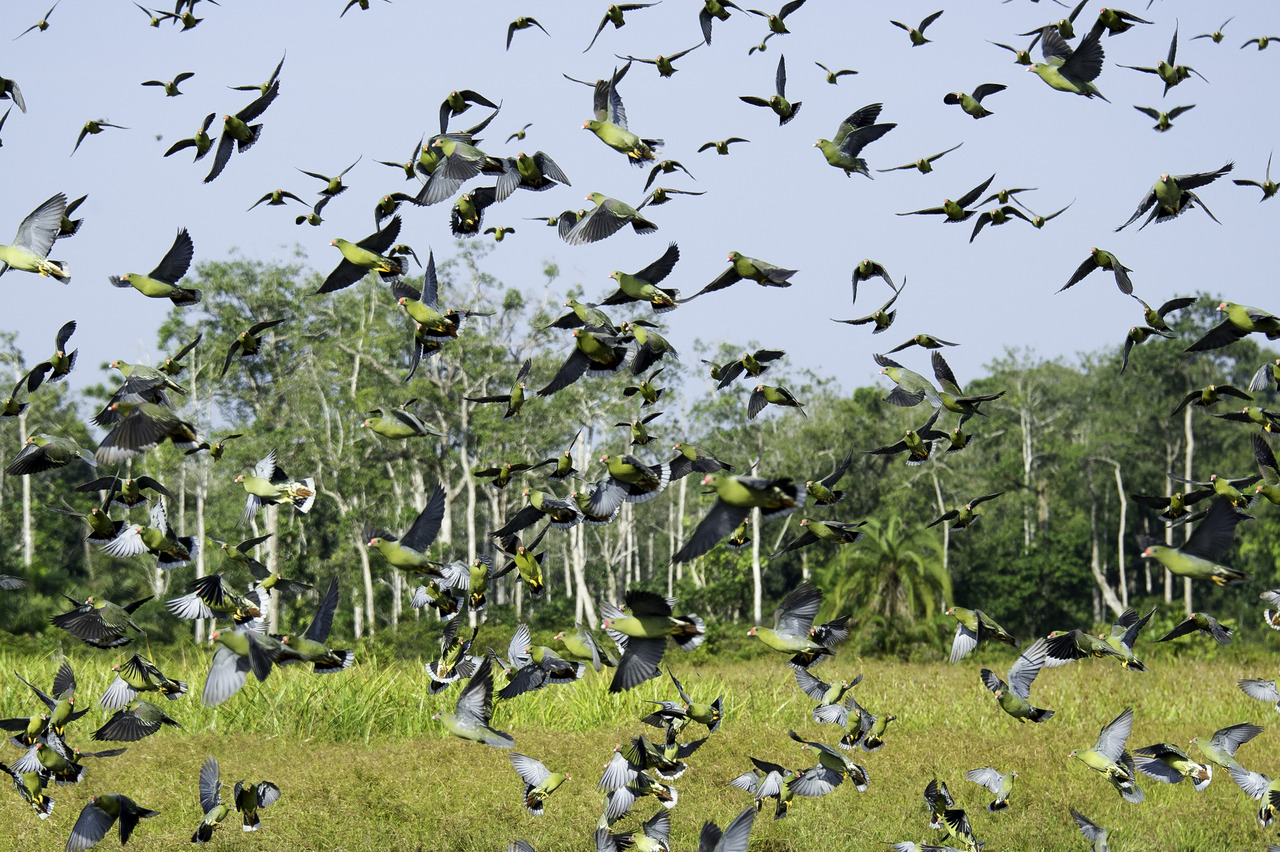 Congo-African-Green-Pigeons-at-Odzala