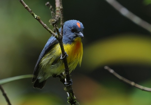 Borneo - Yellow-rumped Flowerpecker by Jim James