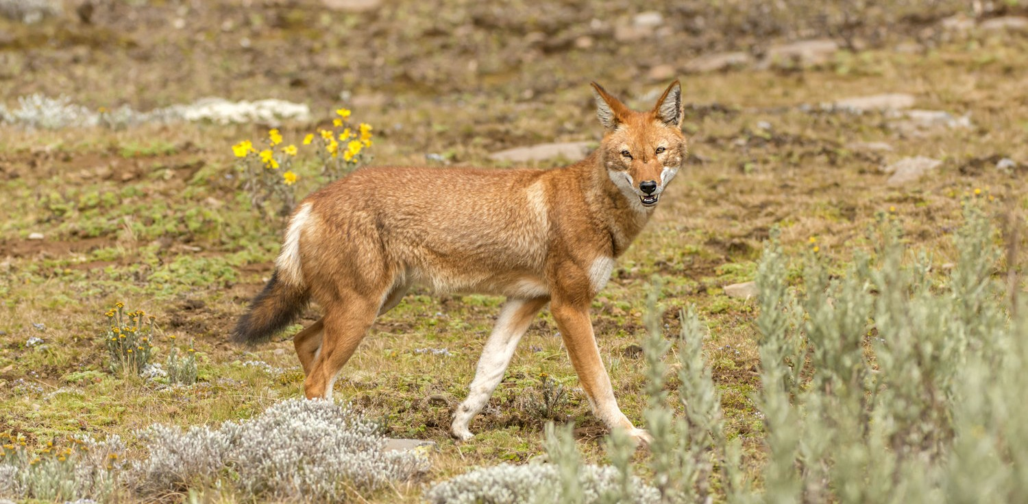 Ethiopian-Wolf-Sanetti-Plateau-Bale-Mountain-National-Park-by-Larry-Jackson-e1439378046643