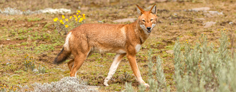 Ethiopian wolf - Luxury Ethiopia Wildlife Safaris - Bellingham Safaris