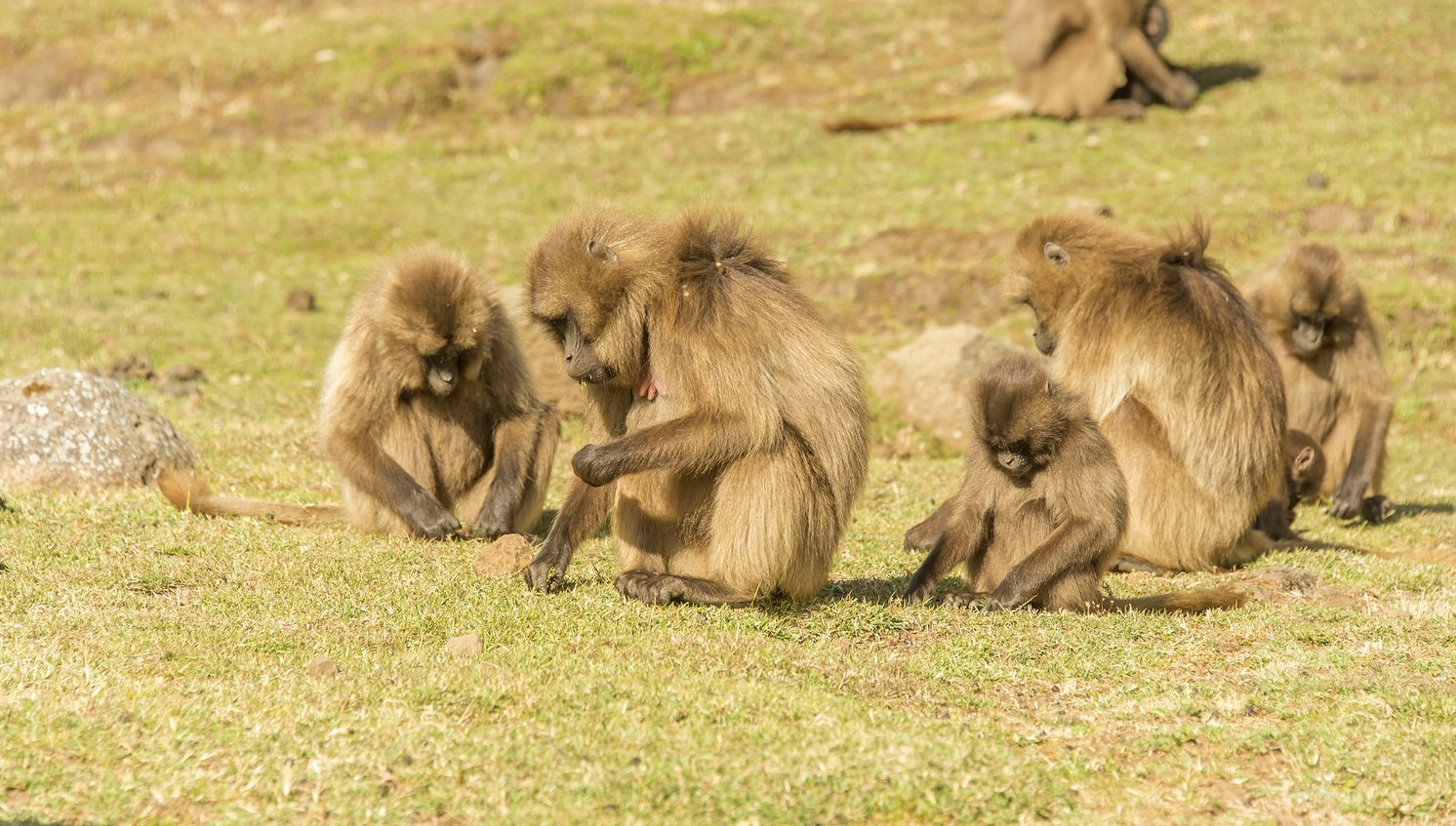 Gelada-Simien-Mtns-National-Park-by-Larry-Jackson1-e1439558903937