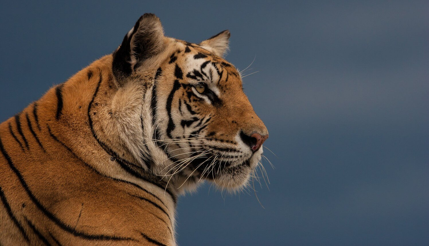 India-Tigress-by-James-Kydd-e1439449238516