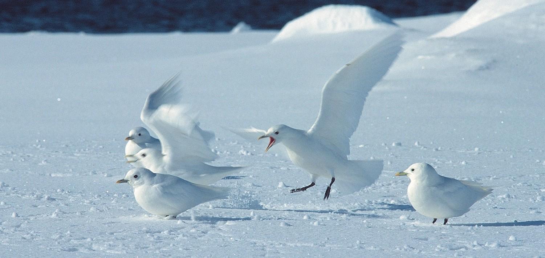 Ivory-Gulls-by-by-Rinie-van-Meurs-e1439462867469