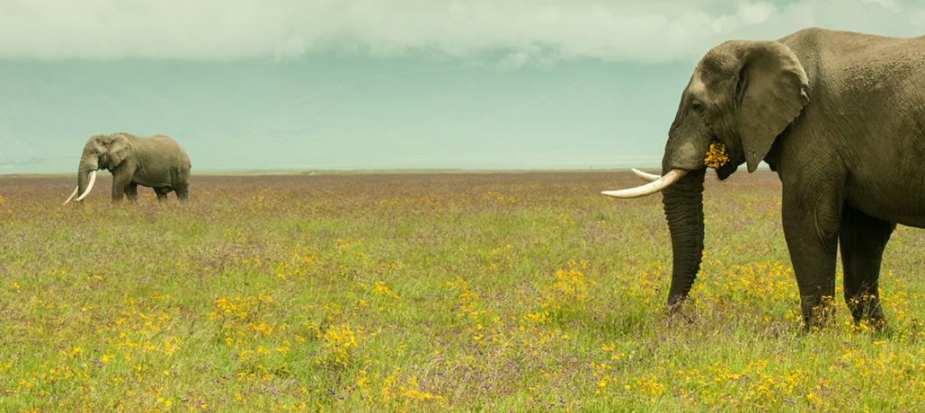 KT-Ngorongoro-Elephant-by-Simon-Bellingham-72dpi1