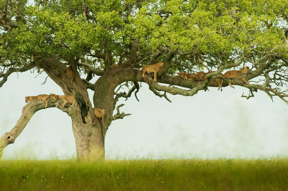 KT-Tree-climbing-Lions-by-Simon-Bellingham