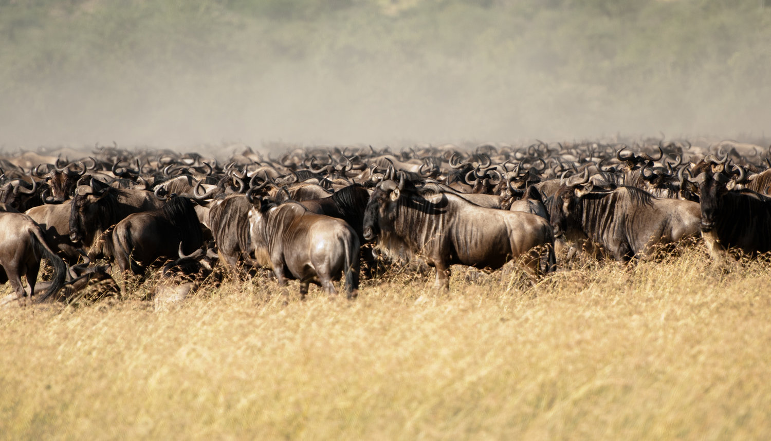 KT-Wildebeest-migration-by-Simon-Bellingham-11