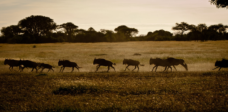KT-Wildebeest-migration-by-Simon-Bellingham