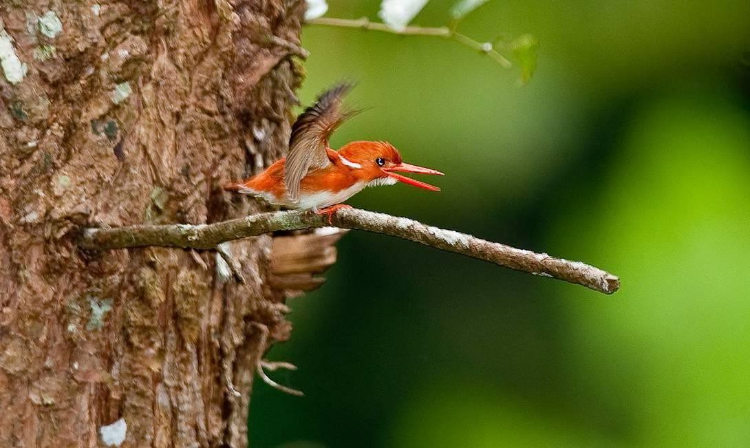 Madagascar-Malagasy-Pygmy-Kingfisher-by-Steven-Schwartzberg2-e1566906983869