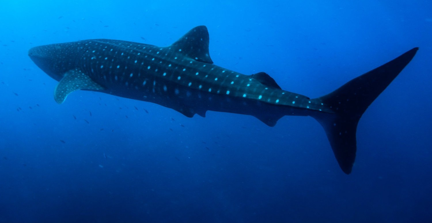Maldives-Whale-Shark-by-Mike-Nortje-e1439829235600