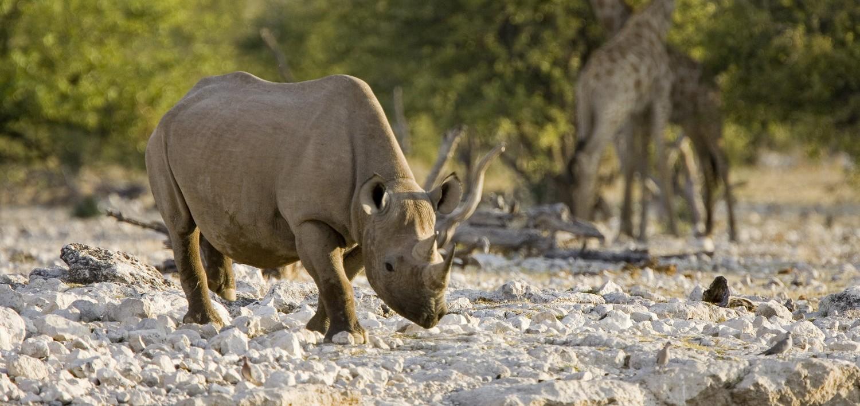 Namibia-Etosha-Black-Rhino-by-Mike-Myers-e1439629516653