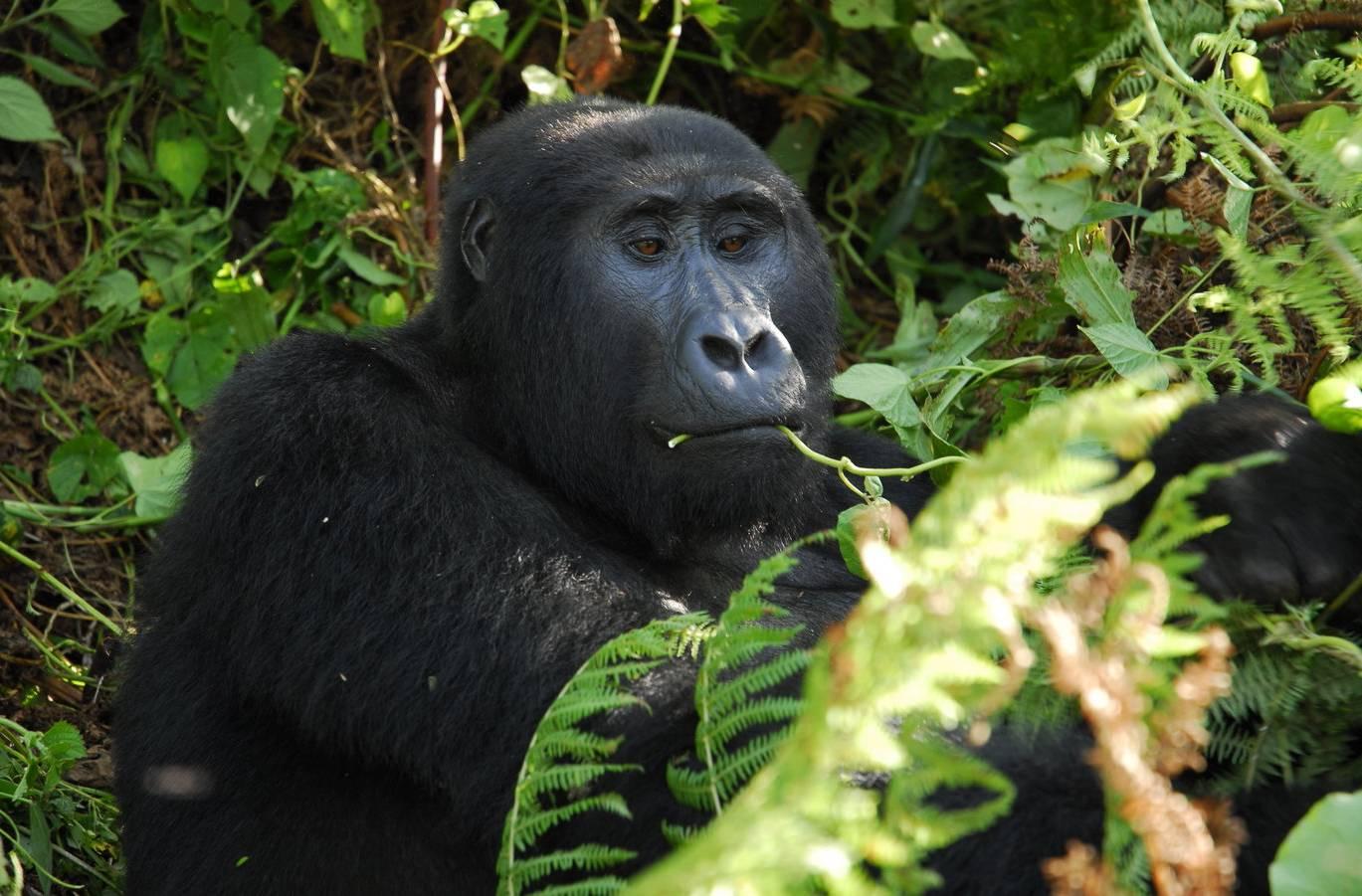 Uganda-Gorilla-by-Simon-Bellingham-e1566909420110