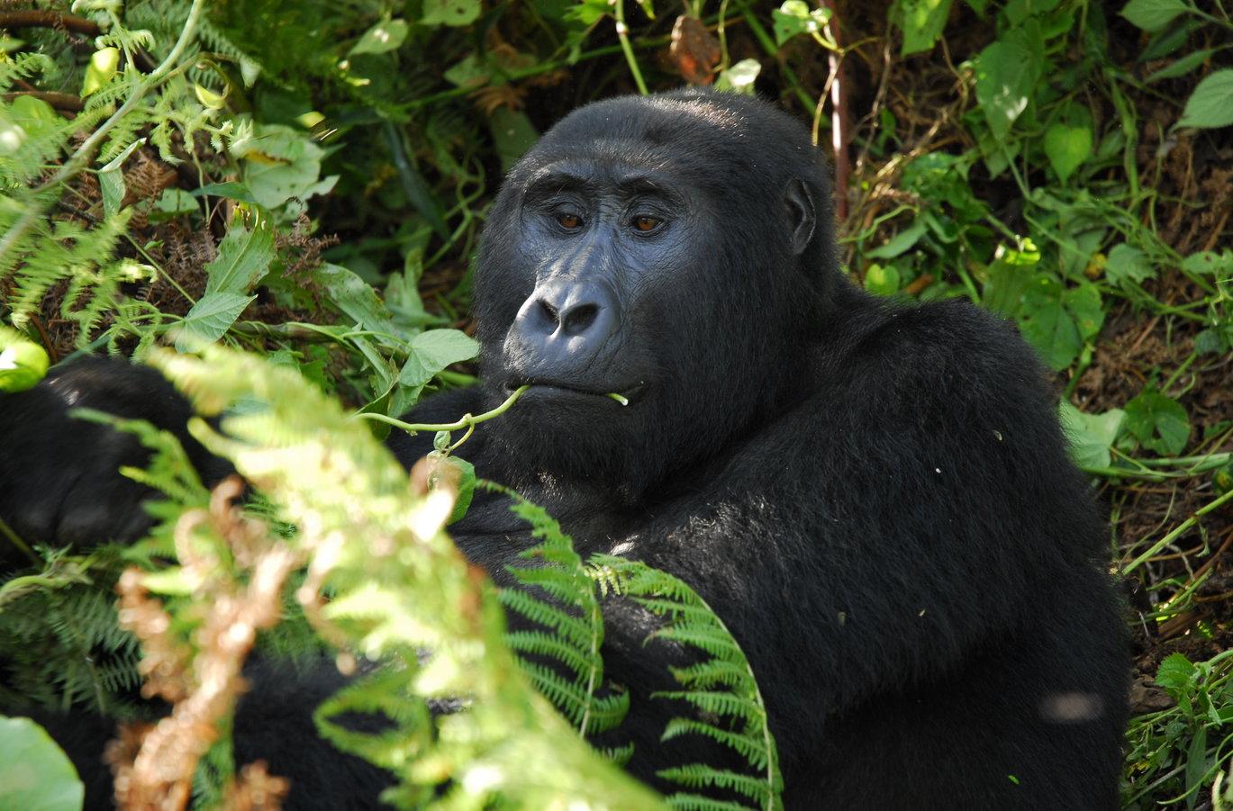 Uganda-Gorilla-by-Simon-Bellingham