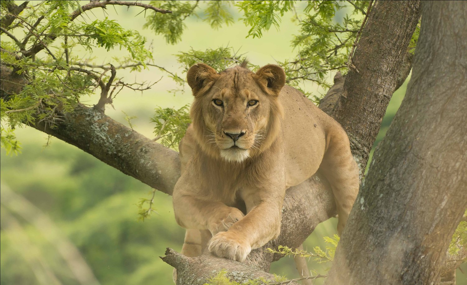 Uganda-Tree-climbing-Lion-by-Larry-Jackson-replace-Simons-image