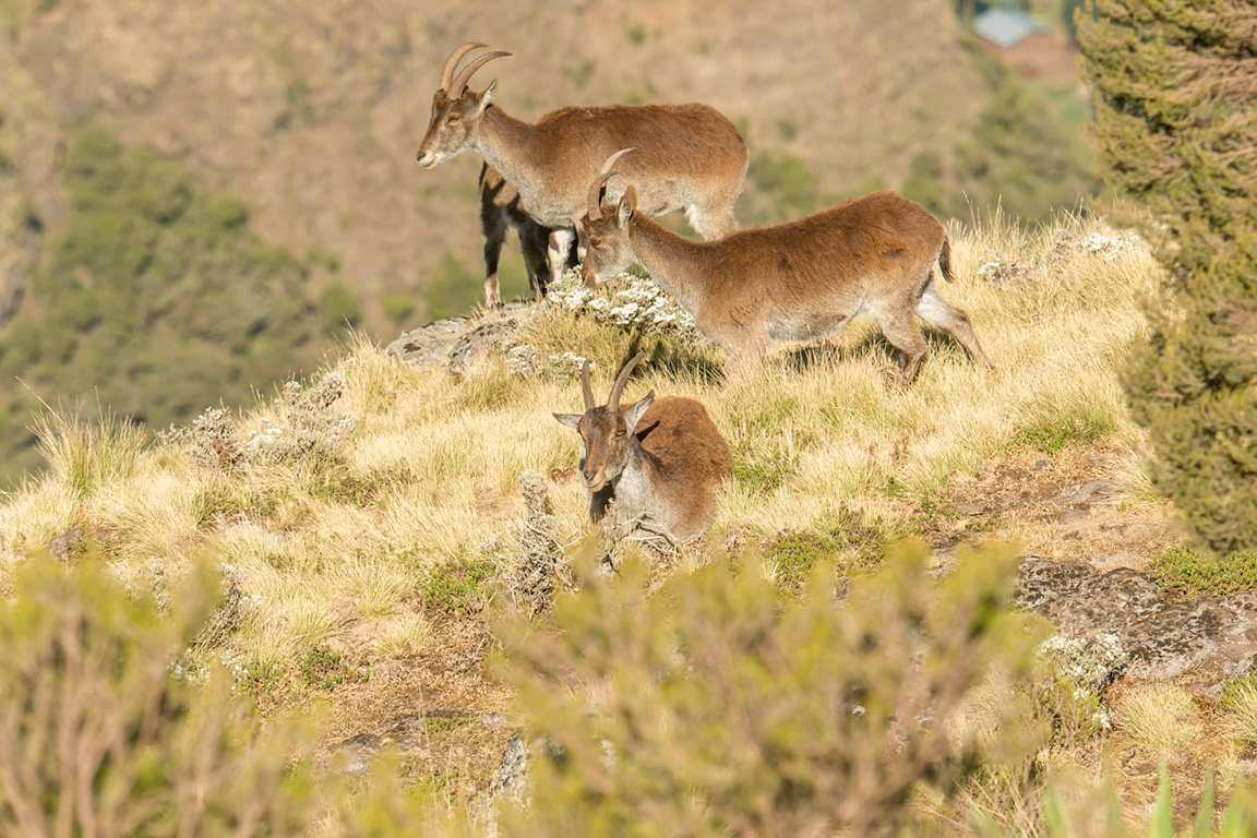 Walia-Ibex-Simien-Mountains-National-Park-by-Larry-Jackson