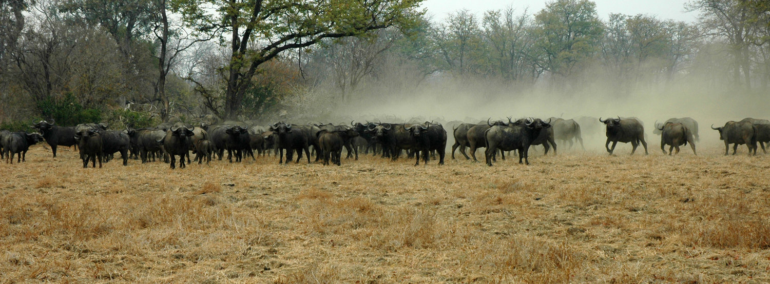 Zimbabwe-Buffalo-by-Simon-Bellingham