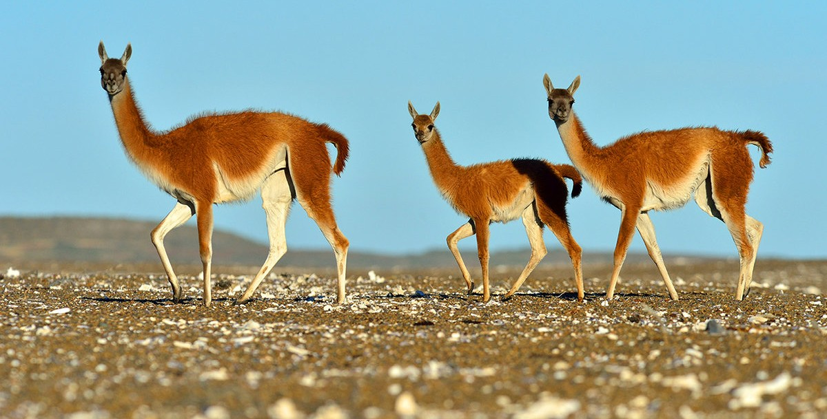 Guanaco-by-Pablo-Cersosimo_copy-e1442475434689