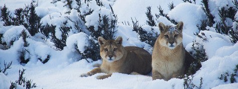 Puma in snow by Pablo Cersosimo - Argentina & Chile Luxury Wildlife Safari Tours - Bellingham Safaris