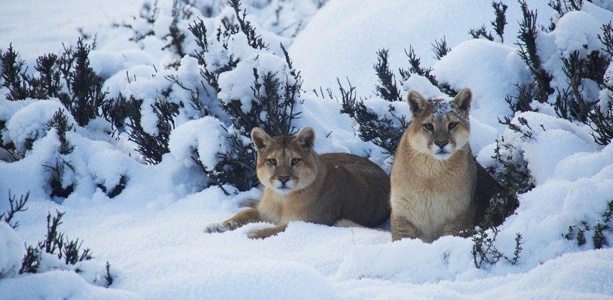 Puma-in-Snow-by-Pablo-Cersosimo-low-res-e1453298451667