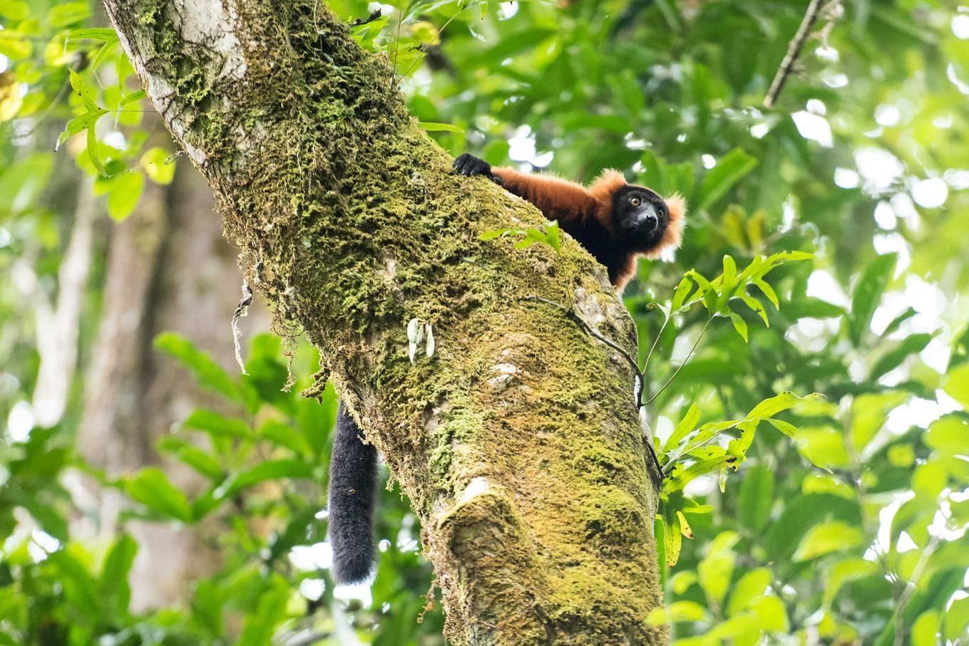 Red-Ruffed-Lemur-by-Simon-Bellingham-Copy-e1566907635284