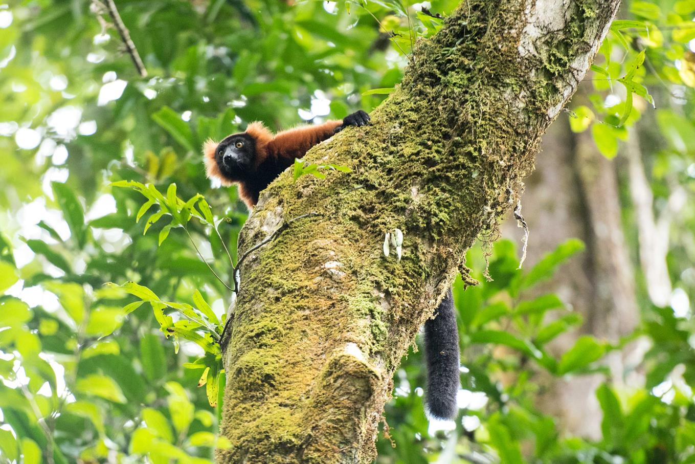 Red-Ruffed-Lemur-by-Simon-Bellingham-Copy
