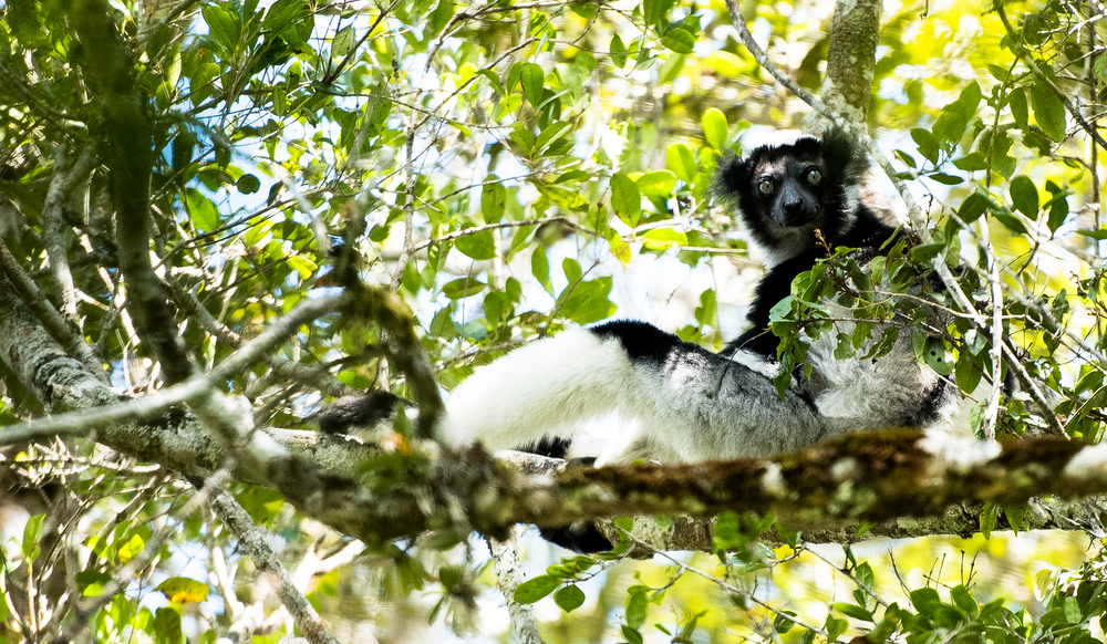 Indri-by-Simon-Bellingham